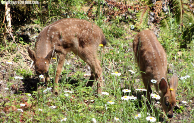 Fawns on Hurricane Ridge Road