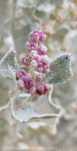 Desert flower-buds